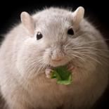 МышьБелая